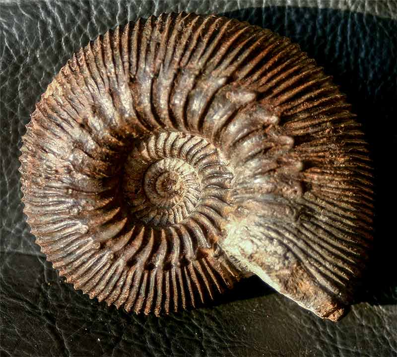 German Ammonites