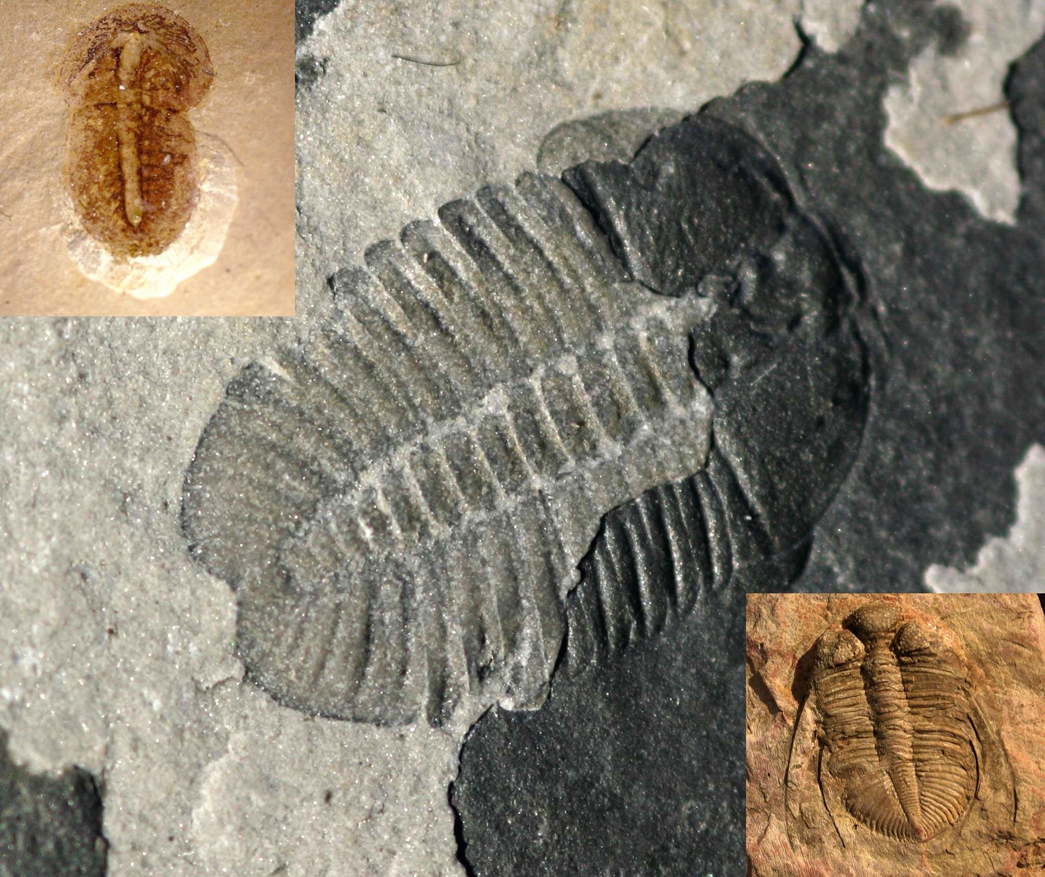 Chinese Trilobites
