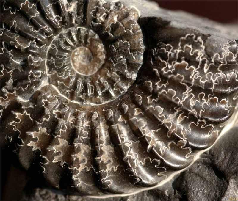 Ammonites Buttenheim