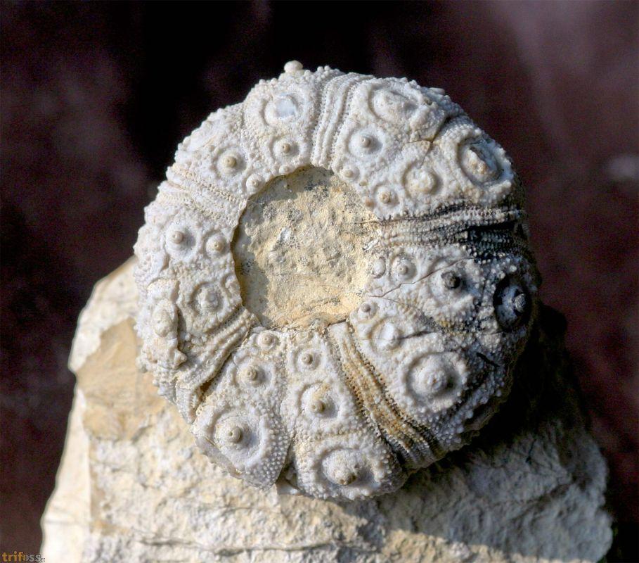 Nattheim Fossilien