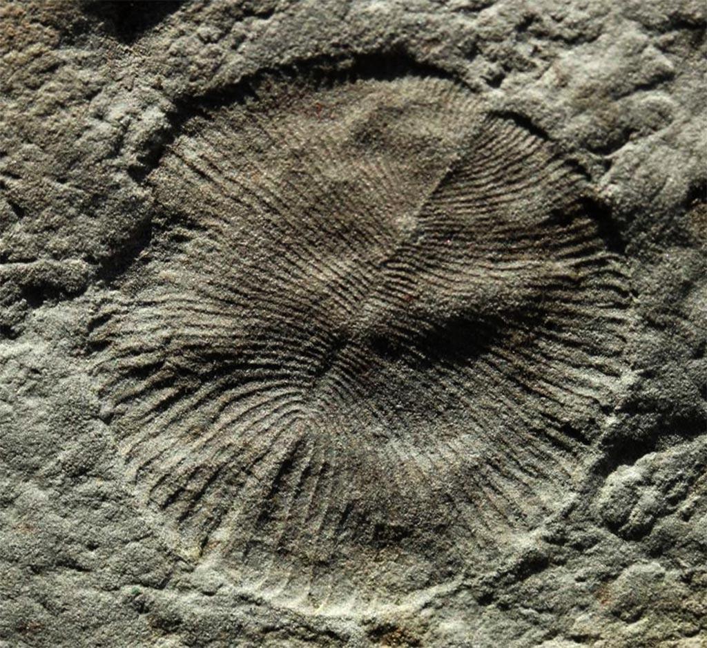 Ediacara Fossilien