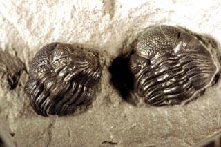 Phacops rana rana double with Stereolasma rectum