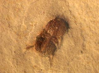 Ptychagnostus michaeli ROBISON, 1984