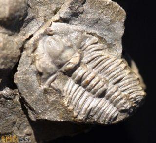 Ehmania gallatinensis (Meek)