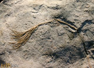 Daedalocrinus bellevillensis (BILLINGS, 1883)