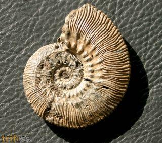 Kosmoceras (Lobokosmoceras)  proniae (THEISSEYRE, 1883)
