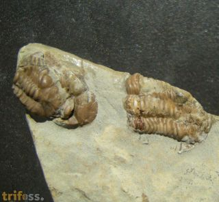 Trimerocephalus caecus (Gürich, 1896)