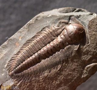 Hydrocephalus minor (BOECK 1827)