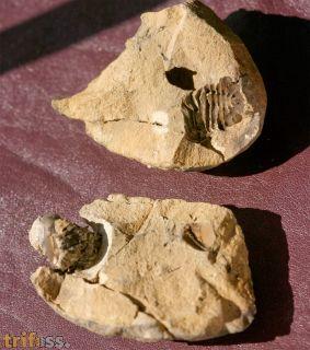 Actinopeltis sp.