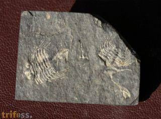 Leonaspis chacaltayana (KOZLOWSKI)