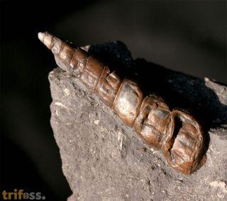 Pseudokatosira undulata (BENZ in ZIETEN, 1830)