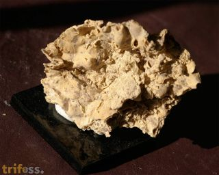 Latusastrea alveolaris (Goldfuss 1829)