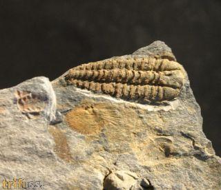 Placoparia tournemini , ROUAULT 1847