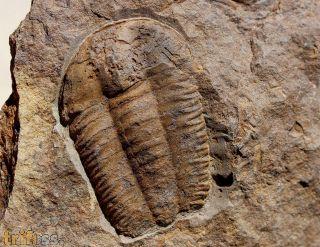 Ellipsocephalus vetustus (POMPECKJ, 1895)