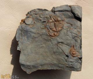 Ampyx linleyensis & Dionide turnbulli