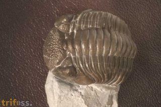 Eldredgeops rana milleri, (STEWART, 1927)