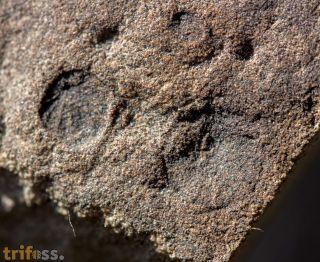 Paleophragmodictya reticulata (Gehling & Rigby 1996)
