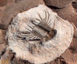 Odontopleurid aff  Laethoprusia / Isoprusia