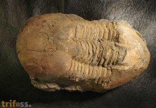 Ectillaenus c.f. benigensis