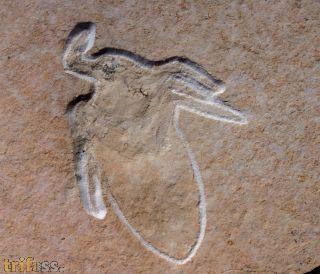 Mesobelostonum deperditum (GERMAR, 1838)