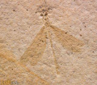 Tarsophlebia minor FLECK & BECHLY & MARTÍNEZ-DELCLÒS & JARZEMBOWSKI & NEL, 2004