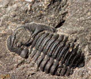 Acastidae /  Asteropygenae unprepared