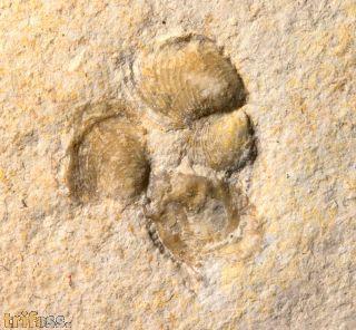 Inoceramus sp.