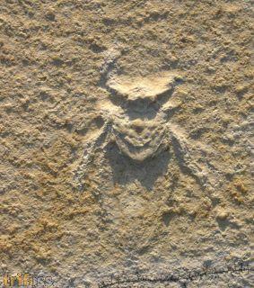 Water Bug , Mesobelostonum sp.