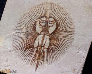 Cyclobatis oligodactylus Egerton 1844