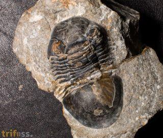 Paralejurus rehammanus (Alberti 1970)