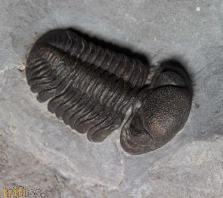 Eldredgeops rana milleri (STEWAERT 1927)