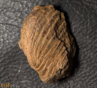 Wenndorfia mutabilis (KOCH, 1883)