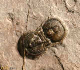 Peronopsis interstricta (WHITE, 1874)