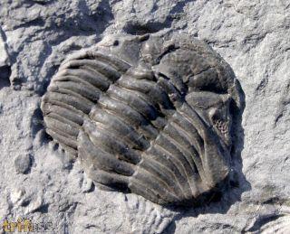 Phacops rana rana (Green, 1832)