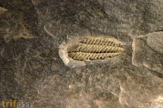 Placoparia tournemini, ROUAULT 1847 + Orthis? sp.