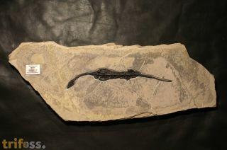 Neusticosaurus pusillus FRAAS