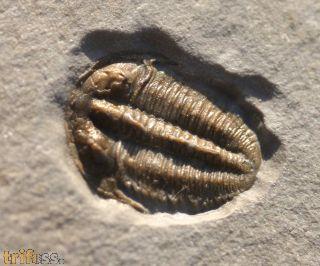 Bolaspidella housensis WALCOTT, 1886