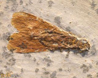 Termite (Isoptera)