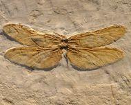 Dragonfly, Cordulagomphus sp.