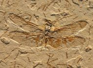 Dragonly  Cordulagomphus tuberculatus C. ARLE. & W. IGHTON. , 19