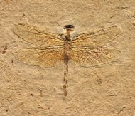 Dragonly Cordulagomphus sp.