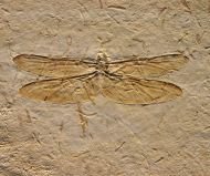 Dragonly  Araripegomphus andreneli Bechly, G. 1998