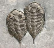 Dalmanites limulurus (GREEN 1832)