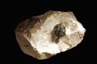 Pseudocryphaeus sarirus Morzardec 2001
