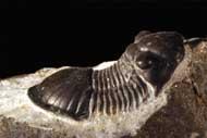 Paralejurus rehamnanus G. Alberti 1970