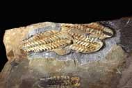 Three Placoparia tournemini , ROUAULT 1847