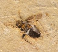 true bug, (Heteroptera)