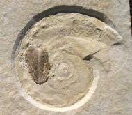 Glochiceras solenoides QUENSTEDT