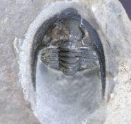 Cornuproetus (Diademaproetus)  praecursor  (Alberti, 1969)