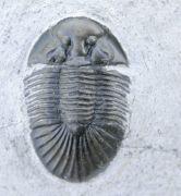 Scabriscutellum (Cavetia)  cf. furciferum (Hawle & Corda 1847)
